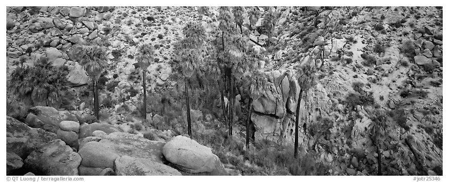 Desert oasis with palm trees in arid landscape. Joshua Tree National Park (black and white)