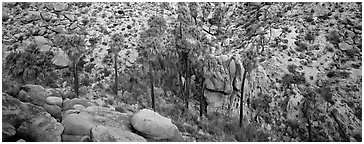 Desert oasis with palm trees in arid landscape. Joshua Tree National Park (Panoramic black and white)