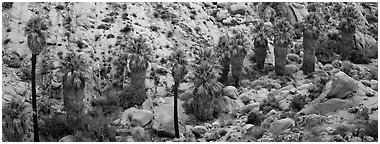 Row of native California Fan Palm trees. Joshua Tree National Park (Panoramic black and white)
