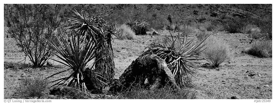 Desert plants. Joshua Tree  National Park (black and white)