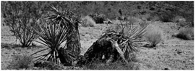 Desert plants. Joshua Tree National Park (Panoramic black and white)