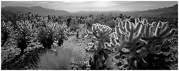 Desert flat with cholla cactus. Joshua Tree National Park (Panoramic black and white)