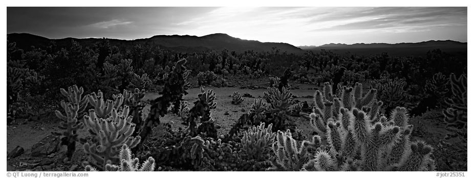 Thorny cactus at sunrise. Joshua Tree  National Park (black and white)