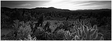 Thorny cactus at sunrise. Joshua Tree National Park (Panoramic black and white)