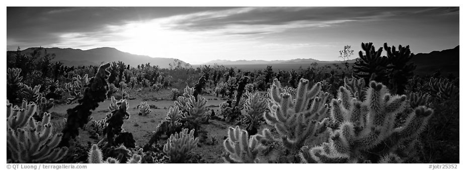 Desert scenery with cholla cacti at sunrise. Joshua Tree National Park (black and white)