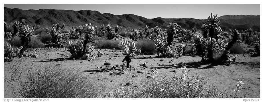 Panoramic black and white picture photo desert landscape with yellow blooms on bush and cactus joshua tree national park
