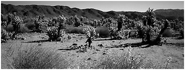 Desert landscape with yellow blooms on bush and cactus. Joshua Tree National Park (Panoramic black and white)