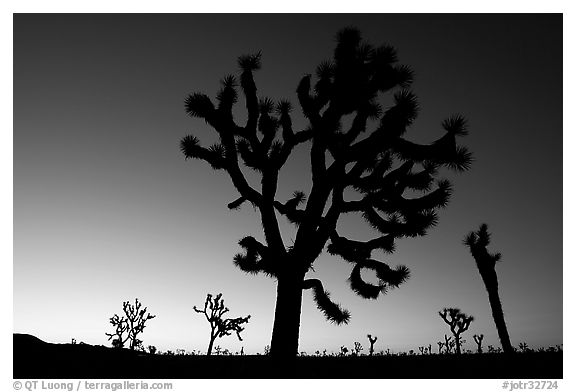 Joshua trees (Yucca brevifolia) at dawn. Joshua Tree National Park (black and white)