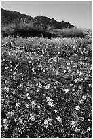 Coreopsis carpet near the North Entrance, afternoon. Joshua Tree National Park, California, USA. (black and white)