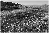 Carpet of yellow coreposis, late afternoon. Joshua Tree National Park ( black and white)