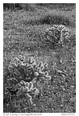 Cactus and Coreposis yellow flowers. Joshua Tree National Park (black and white)