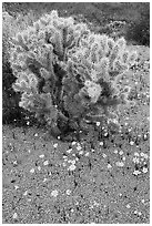 Cactus and Coreposis. Joshua Tree National Park ( black and white)