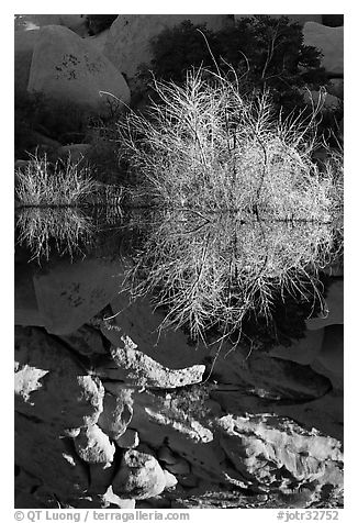 Willows and reflections, Barker Dam, early morning. Joshua Tree National Park (black and white)