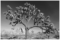 Old Joshua tree (scientific name: Yucca brevifolia). Joshua Tree National Park ( black and white)