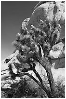 Joshua Tree in bloom and boulders, Hidden Valley Campground. Joshua Tree National Park, California, USA. (black and white)