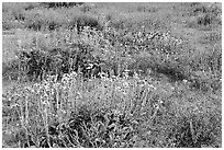 Close-up of flower carpet of Arizona Lupine, Desert Dandelion, Chia, and Brittlebush, near the Southern Entrance. Joshua Tree National Park ( black and white)