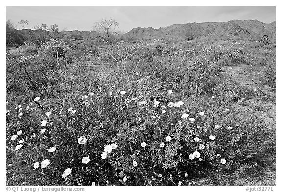 Arizona Lupine, Desert Dandelion, with Brittlebush and Cottonwood Mountains. Joshua Tree National Park (black and white)
