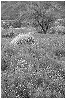 Carpet of Arizona Lupine, Desert Dandelion, and Brittlebush near the Southern Entrance. Joshua Tree National Park ( black and white)