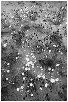 Chia and Desert Dandelion flowers. Joshua Tree National Park ( black and white)