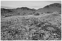 Desert Daisy, Chia flowers, and Hexie Mountains. Joshua Tree National Park ( black and white)