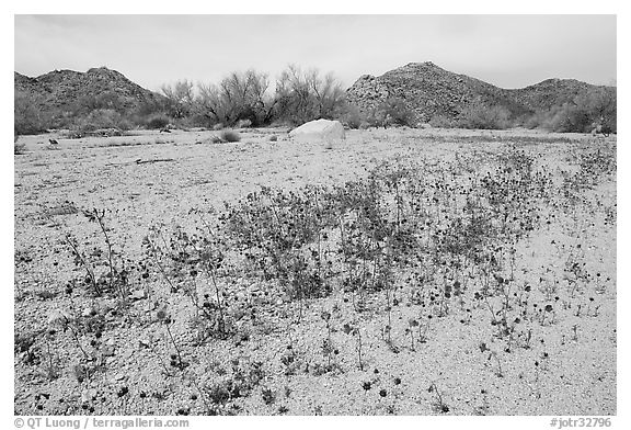 Cluster of blue Canterbury Bells in a sandy wash. Joshua Tree National Park (black and white)