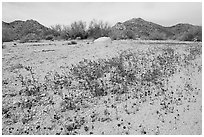 Cluster of blue Canterbury Bells in a sandy wash. Joshua Tree National Park, California, USA. (black and white)