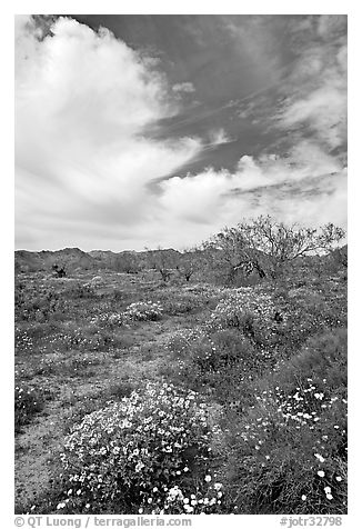Brittlebush, Desert Dandelion, cottonwoods, and Cottonwood Mountains. Joshua Tree National Park, California, USA.