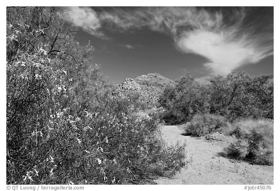 Sandy wash with desert tree blooming. Joshua Tree National Park (black and white)