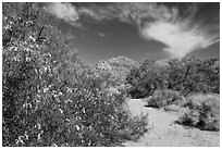 Sandy wash with desert tree blooming. Joshua Tree National Park ( black and white)