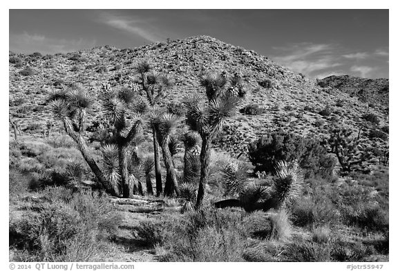 Rocky hills and Joshua trees in seed, Black Rock. Joshua Tree National Park (black and white)
