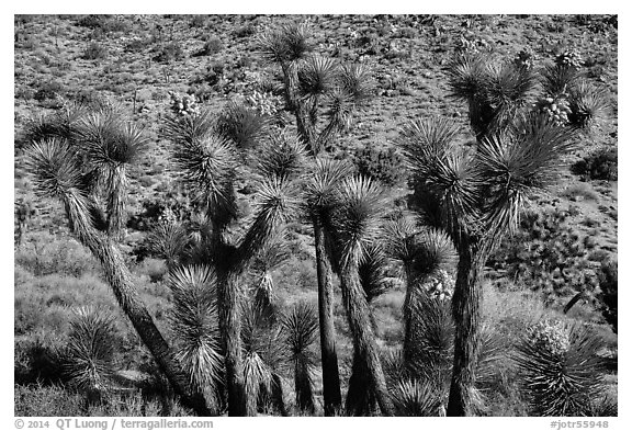 Joshua trees in seed, Black Rock. Joshua Tree National Park (black and white)