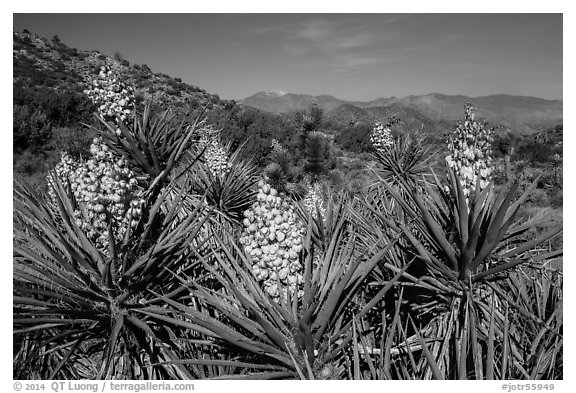 Yuccas in bloom, Black Rock. Joshua Tree National Park (black and white)