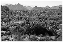 Forest of Joshua trees and distant rocks, Hidden Valley. Joshua Tree National Park ( black and white)