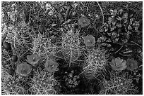Ground view with pine cones and claret cup cactus in bloom. Joshua Tree National Park ( black and white)