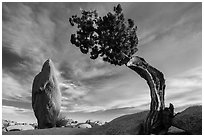 Leaning juniper and pointed monolith. Joshua Tree National Park ( black and white)