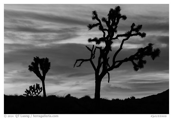 Joshua Trees silhouettes and bright sunset clouds. Joshua Tree National Park (black and white)