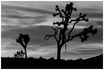Joshua Trees silhouettes and bright sunset clouds. Joshua Tree National Park ( black and white)