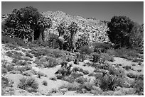 Cottonwood Spring oasis. Joshua Tree National Park ( black and white)