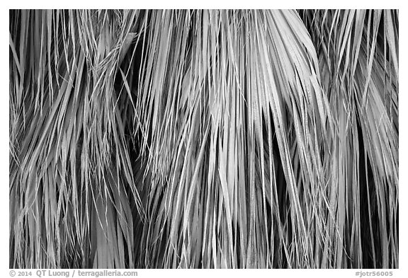 Close-up of dried palm leaves. Joshua Tree National Park (black and white)