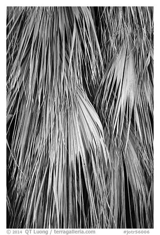 Close-up of dried palms. Joshua Tree National Park (black and white)