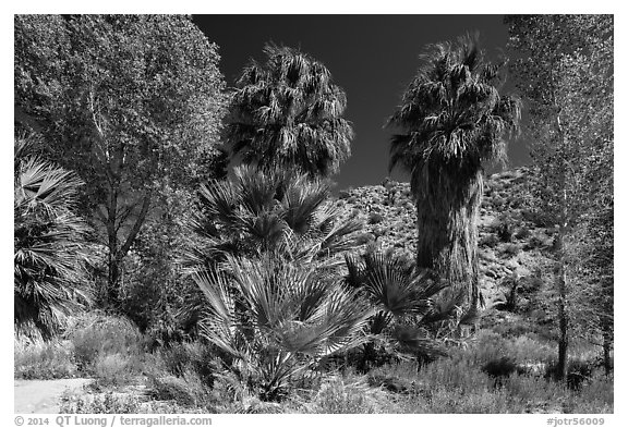 Cottonwoods and palm trees, Cottonwood Spring. Joshua Tree National Park (black and white)