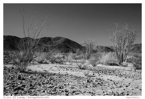 Ocotillo Patch. Joshua Tree National Park (black and white)