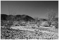 Ocotillo Patch. Joshua Tree National Park ( black and white)