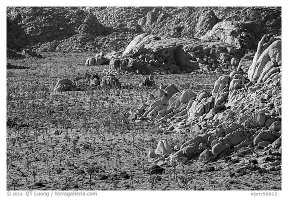 Boulders outcrops and Joshua Trees from above. Joshua Tree National Park (black and white)