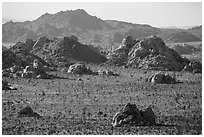 Joshua trees and wonderland of rocks. Joshua Tree National Park ( black and white)