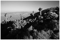 Cactus and yuccas, Ryan Mountain. Joshua Tree National Park ( black and white)
