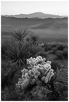 Cholla Cactus, yucca, and San Jacinton Peak, sunset. Joshua Tree National Park ( black and white)