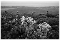 Cholla Cactus, yucca on Ryan Mountain, dusk. Joshua Tree National Park ( black and white)
