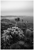 Cholla Cactus, yucca on Ryan Mountain with earth shadow. Joshua Tree National Park ( black and white)
