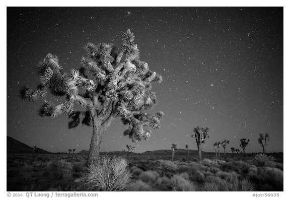 Joshua trees and starry sky. Joshua Tree National Park (black and white)